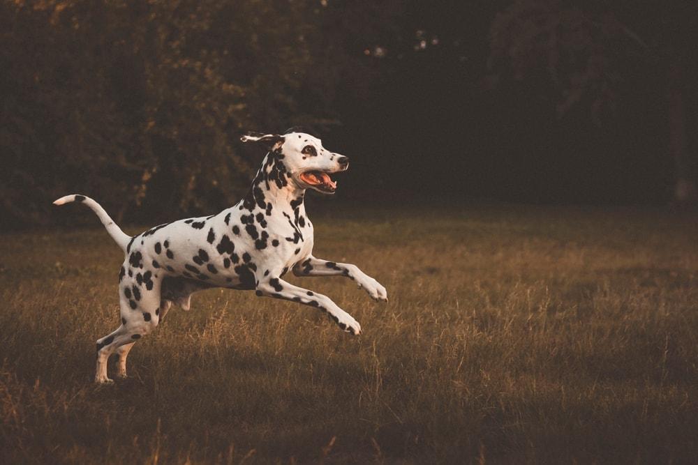 running dalmatian