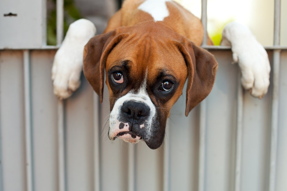 sad boxer puppy