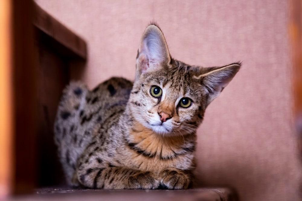 savannah cat at home