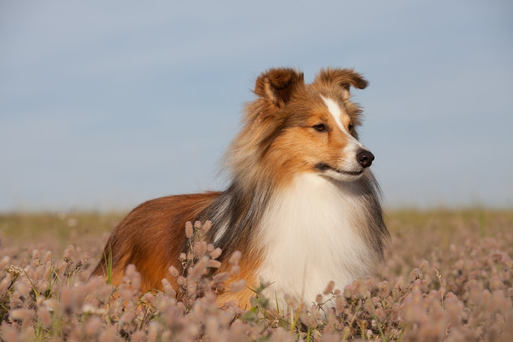 sheltie in a field