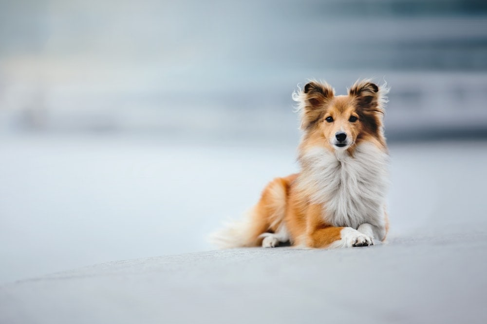 sheltie on a street