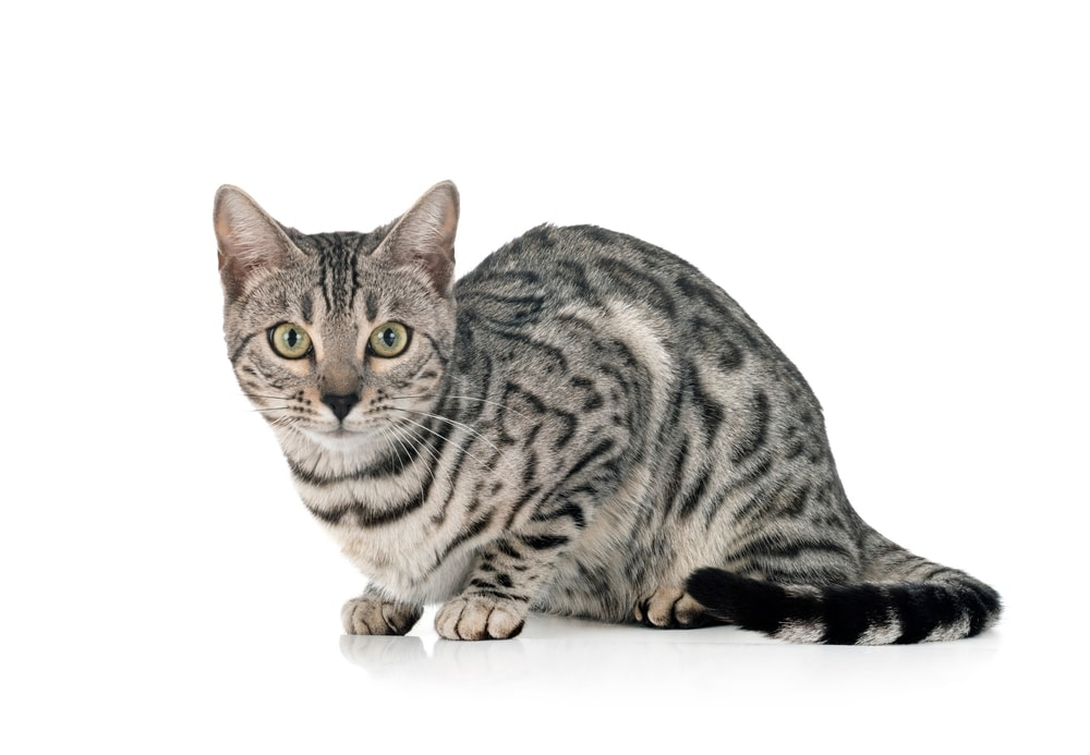 silver bengal cat isolated