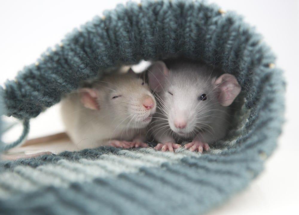 sleeping pet rats