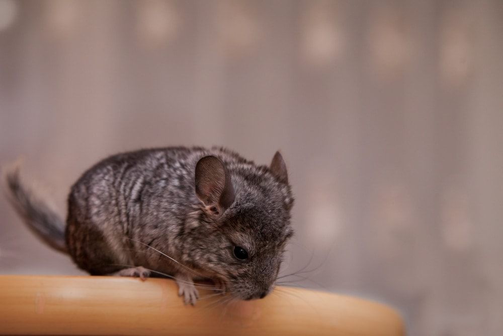 small chinchilla