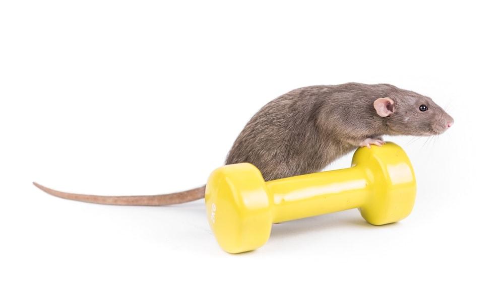 sport rat