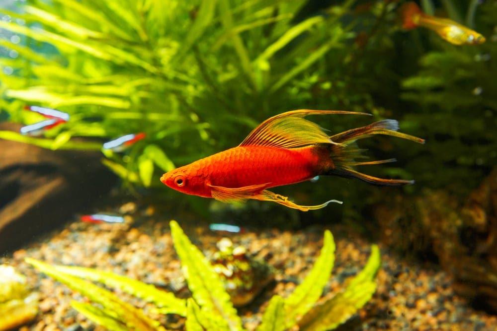 swordtail in aquarium