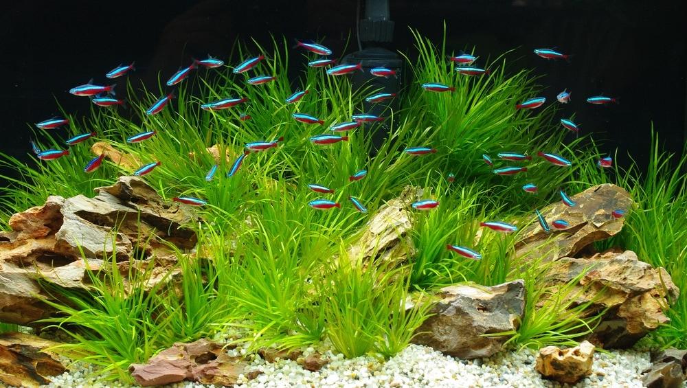 tetra in aquarium