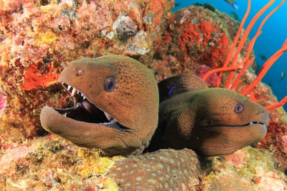 two Moray Eel e1591441628604