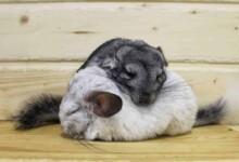 How Do Chinchillas Sleep?