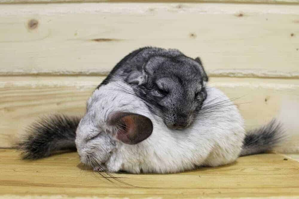 How Do Chinchillas Sleep?