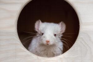 white chinchilla