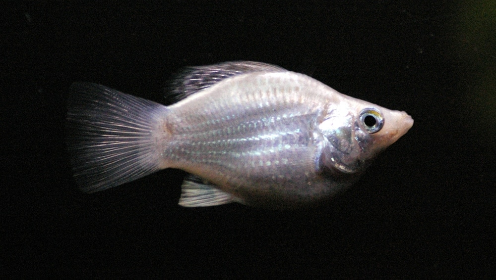 white molly fish