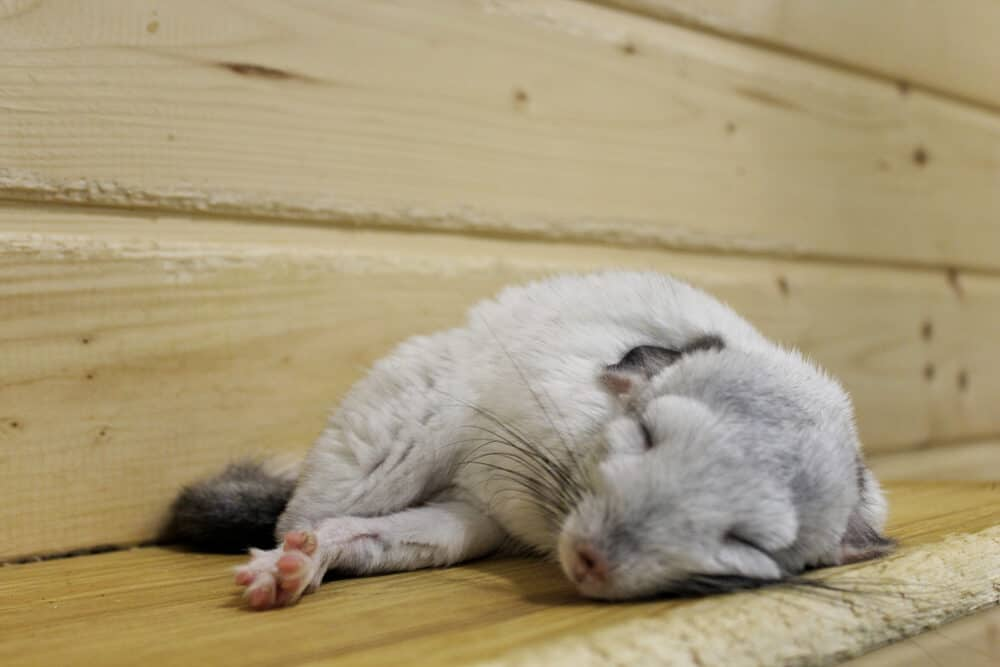 white sleeping chinchilla e1591951416203