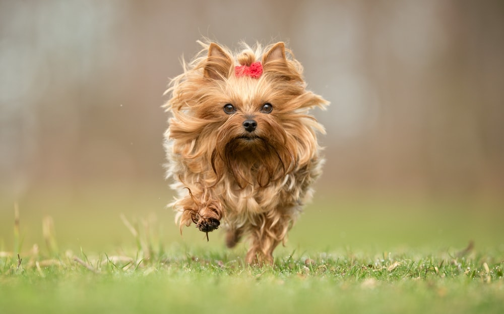 yorkie running in a field